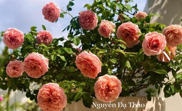 Bà xã Quyền Linh chia sẻ bí quyết trồng hoa hồng-6