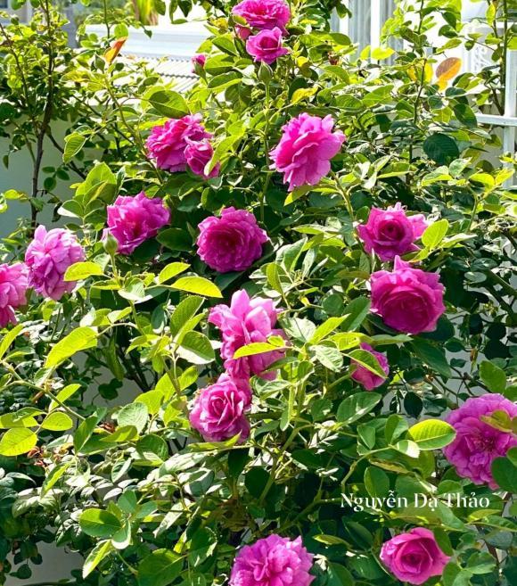 Bà xã Quyền Linh chia sẻ bí quyết trồng hoa hồng-7