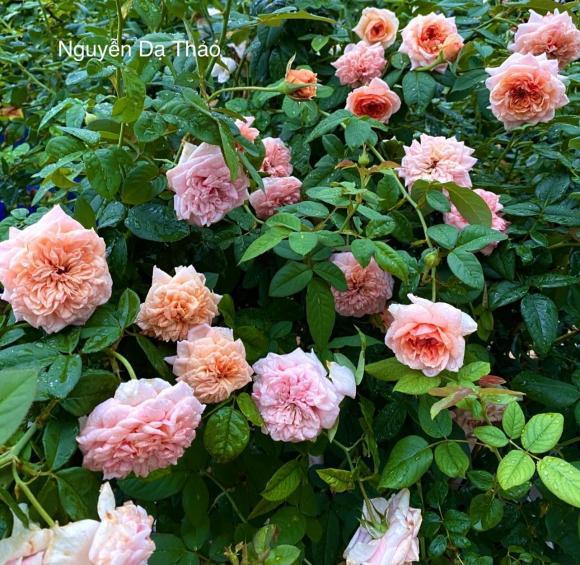 Bà xã Quyền Linh chia sẻ bí quyết trồng hoa hồng-8