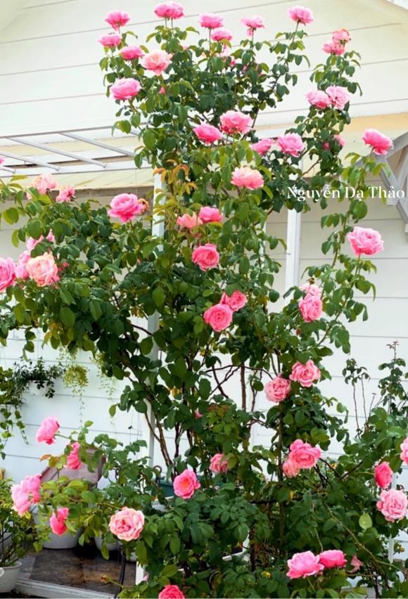 Bà xã Quyền Linh chia sẻ bí quyết trồng hoa hồng-9