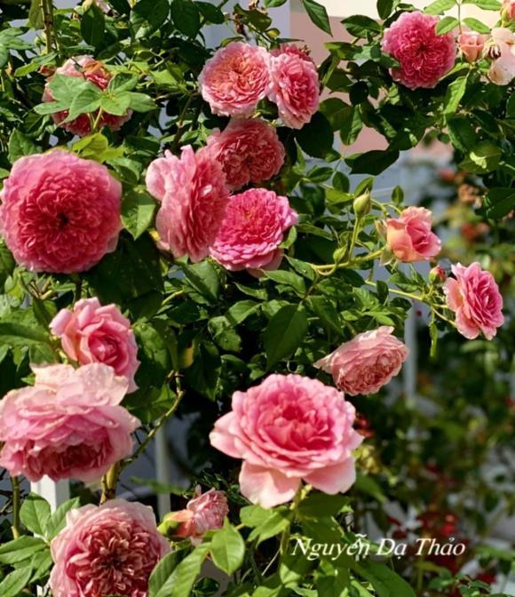 Bà xã Quyền Linh chia sẻ bí quyết trồng hoa hồng-10