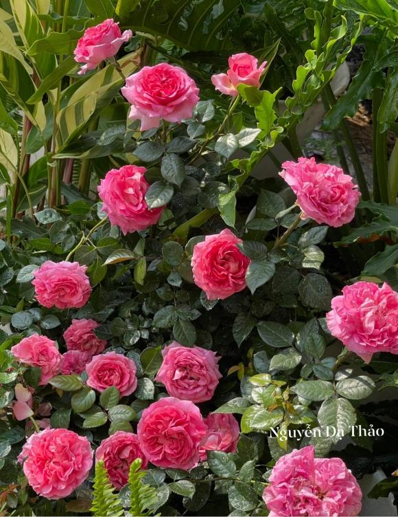 Bà xã Quyền Linh chia sẻ bí quyết trồng hoa hồng-11