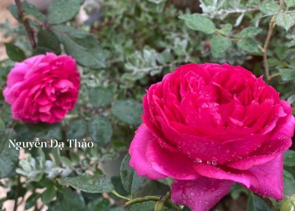 Bà xã Quyền Linh chia sẻ bí quyết trồng hoa hồng-12