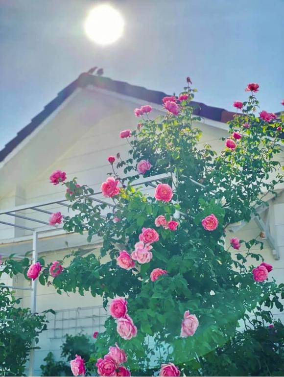 Bà xã Quyền Linh chia sẻ bí quyết trồng hoa hồng-13