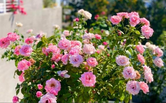 Bà xã Quyền Linh chia sẻ bí quyết trồng hoa hồng-14