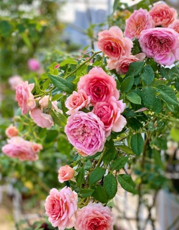 Bà xã Quyền Linh chia sẻ bí quyết trồng hoa hồng-15