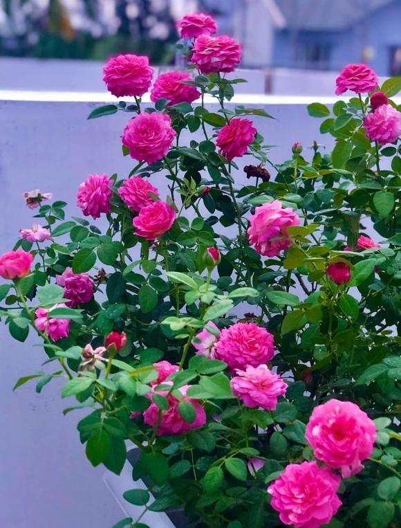 Bà xã Quyền Linh chia sẻ bí quyết trồng hoa hồng-16
