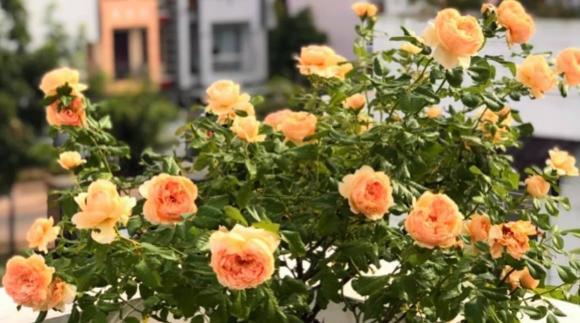 Bà xã Quyền Linh chia sẻ bí quyết trồng hoa hồng-17