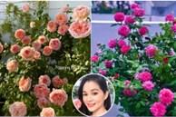 Bà xã Quyền Linh chia sẻ bí quyết trồng hoa hồng