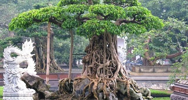 Té ghế với những loại cây có giá trên mây trăm tỷ đồng ở Việt Nam-1