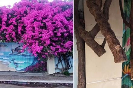 Xôn xao giàn hoa giấy khổng lồ đẹp nhất Vũng Tàu bị kẻ gian chặt gốc, cư dân mạng xót xa chia sẻ hình ảnh gốc cây