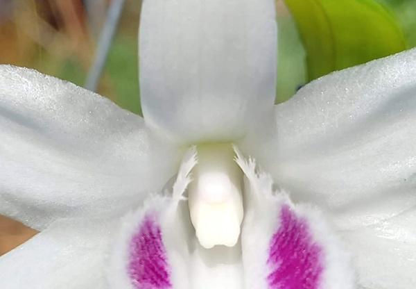 Lan 5 cánh trắng Phú Thọ, hàng đột biến mà giá chỉ vài triệu-2