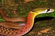 Bé gái 15 tháng tuổi tử vong thương tâm do bị rắn hoa cổ đỏ cắn khi đang chơi ở sân nhà