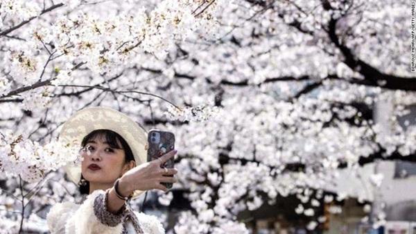 Hoa anh đào Nhật Bản bung nở đẹp mỹ mãn lần đầu tiên trong suốt 1200 năm, nhưng ẩn sau đó là một thảm họa đáng sợ-1