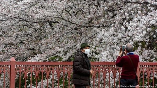 Hoa anh đào Nhật Bản bung nở đẹp mỹ mãn lần đầu tiên trong suốt 1200 năm, nhưng ẩn sau đó là một thảm họa đáng sợ-2