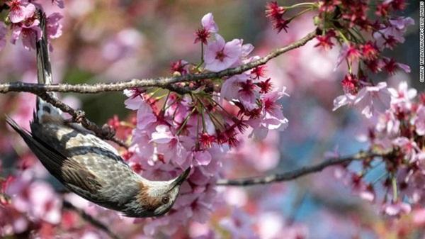 Hoa anh đào Nhật Bản bung nở đẹp mỹ mãn lần đầu tiên trong suốt 1200 năm, nhưng ẩn sau đó là một thảm họa đáng sợ-3