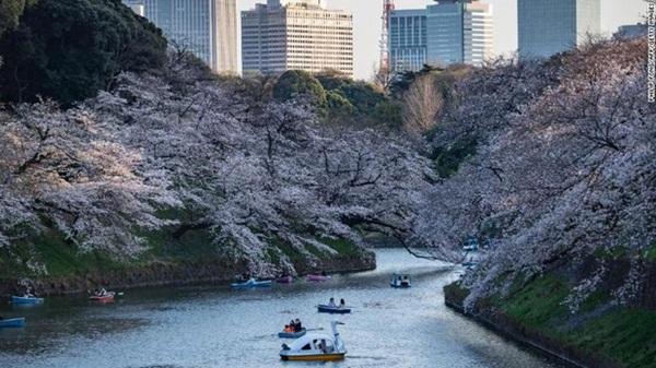 Hoa anh đào Nhật Bản bung nở đẹp mỹ mãn lần đầu tiên trong suốt 1200 năm, nhưng ẩn sau đó là một thảm họa đáng sợ-4