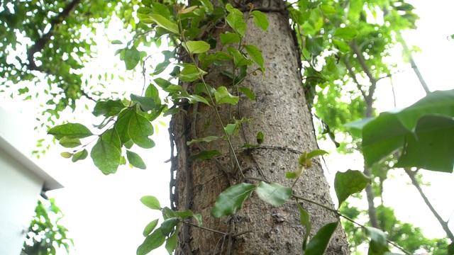 Choáng với loại tầm gửi quấn quanh thân cây được hét giá 1 triệu đồng/kg-1