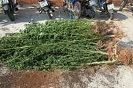 Phát hiện một người nước ngoài trồng hơn 400 cây cần sa