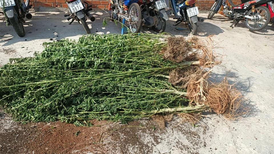 Phát hiện một người nước ngoài trồng hơn 400 cây cần sa-1