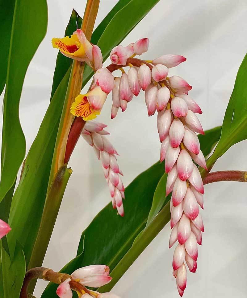 Hoa dại bờ bụi siêu đắt đỏ, mối buôn bán 2.000 cành/ngày-2