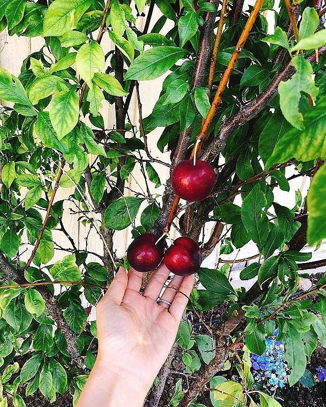 Khám phá khu vườn hàng chục loại trái cây của hoa hậu Phạm Hương ở Mỹ-4