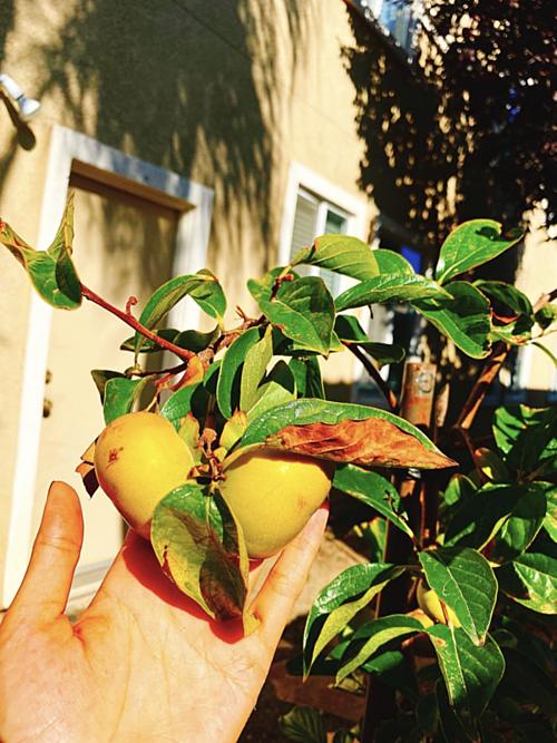 Khám phá khu vườn hàng chục loại trái cây của hoa hậu Phạm Hương ở Mỹ-7