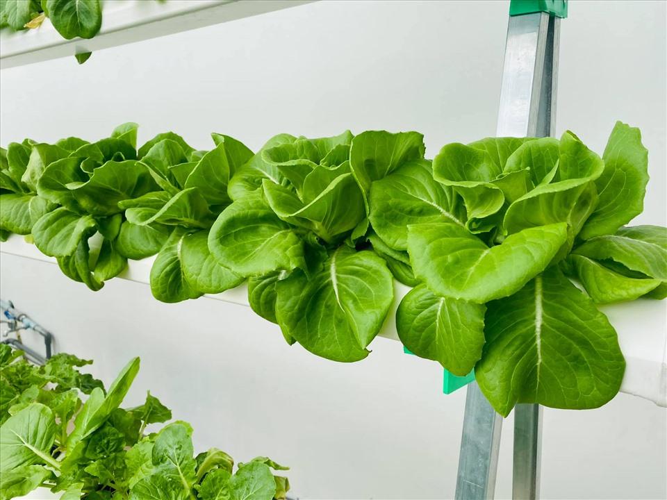 MC Đại Nghĩa chia sẻ bí quyết trồng rau thủy canh trên sân thượng đúng cách-6