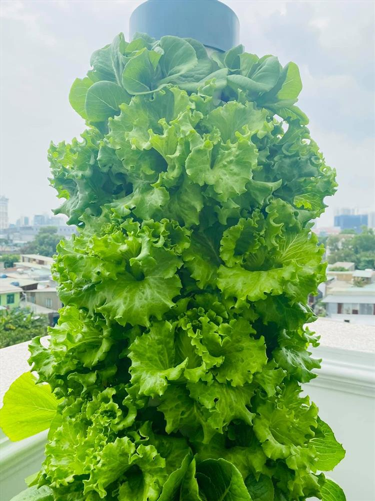 MC Đại Nghĩa chia sẻ bí quyết trồng rau thủy canh trên sân thượng đúng cách-7
