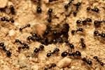 6 cách dễ dàng diệt và đuổi kiến khỏi nhà không cần thuốc chứa hóa chất độc hại