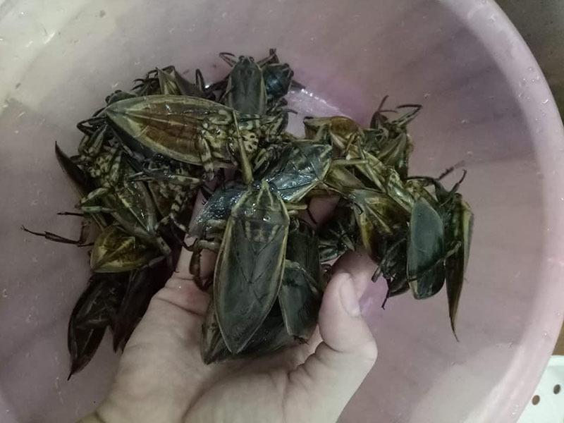 Loại côn trùng giống gián bán 3,5 triệu/kg, nhà giàu mua về hưởng thơm-2