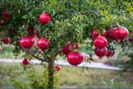 5 loại cây nên trồng trước cửa nhà giúp gia chủ làm ăn phát đạt, ngày càng giàu có