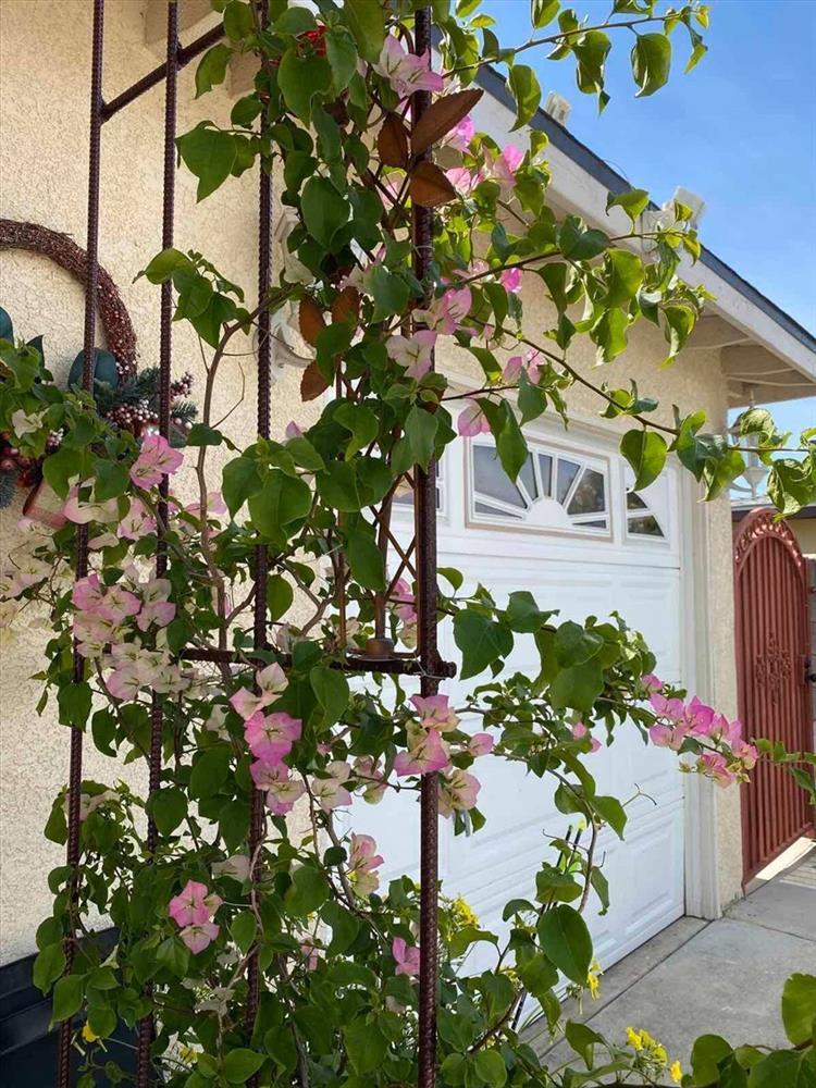 Cách bài trí sân vườn tươi mát và nhiều hoa của danh ca Hương Lan-1