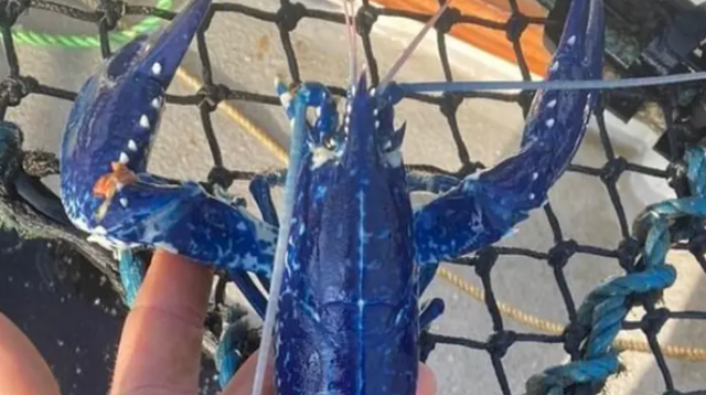 Ngư dân bắt được tôm hùm xanh dương hai triệu con mới có một-1
