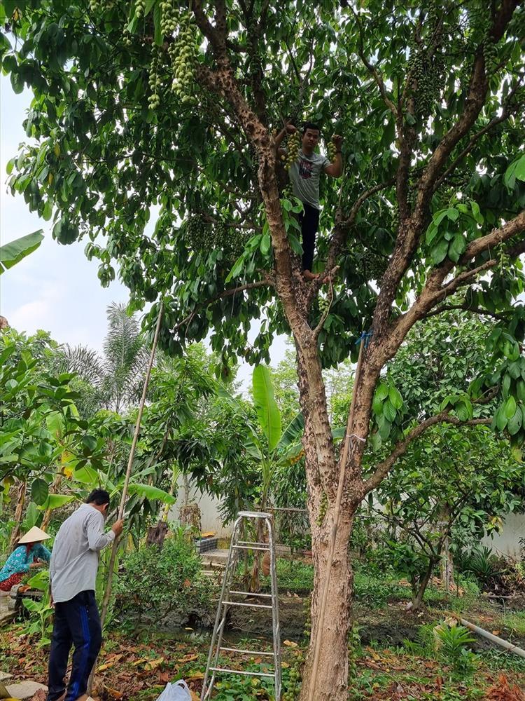 Cùng Việt Trinh đi thu hoạch nhiều loại trái cây trong vườn 2.500m2-5
