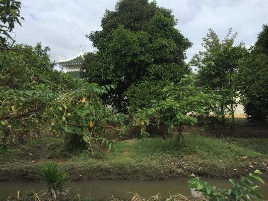 Cùng Việt Trinh đi thu hoạch nhiều loại trái cây trong vườn 2.500m2-8