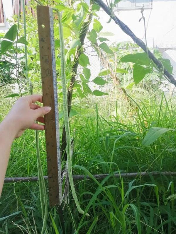 Chàng trai khoe ảnh quả đậu cô ve dài hơn nửa mét nhà mình tự trồng, dân mạng xem xong ai cũng vào bóc mẽ ngay một điều?-2