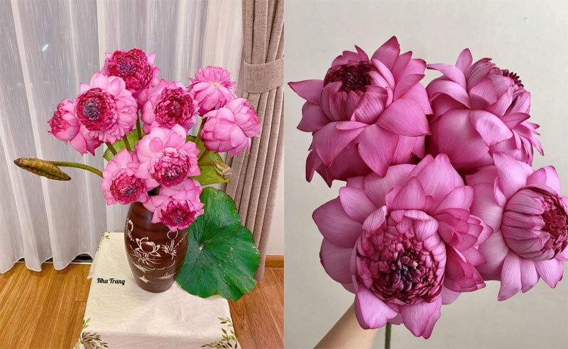 Sốt hoa sen ngàn cánh chào hè, chị em Hà thành ráo riết lùng mua-5