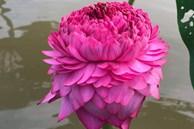 Sốt hoa sen ngàn cánh chào hè, chị em Hà thành ráo riết lùng mua