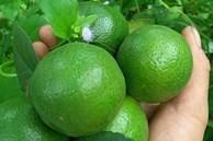 Bảo quản chanh ăn quanh năm: Để cả quả cấp đông thì bị đắng, hỏng nhưng làm theo cách này đảm bảo thành công và hương vị không đổi