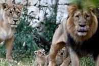 Tám con sư tử ở vườn thú Ấn Độ mắc Covid-19