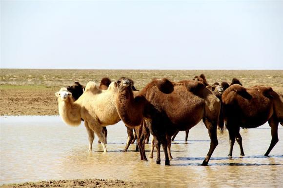 Tại sao phải cẩn thận với xác lạc đà trong sa mạc? Các nhà khoa học: nó tương đương với vũ khí sinh hóa-2