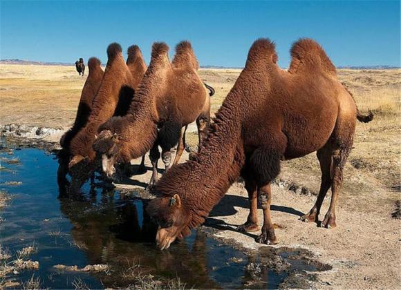 Tại sao phải cẩn thận với xác lạc đà trong sa mạc? Các nhà khoa học: nó tương đương với vũ khí sinh hóa-3