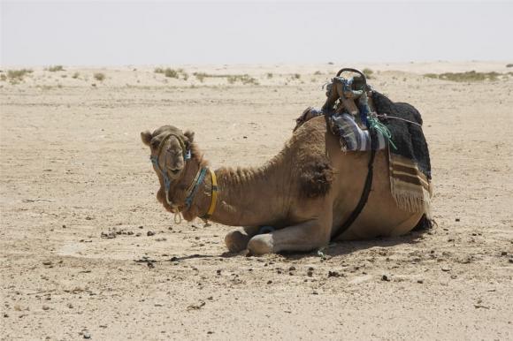 Tại sao phải cẩn thận với xác lạc đà trong sa mạc? Các nhà khoa học: nó tương đương với vũ khí sinh hóa-6