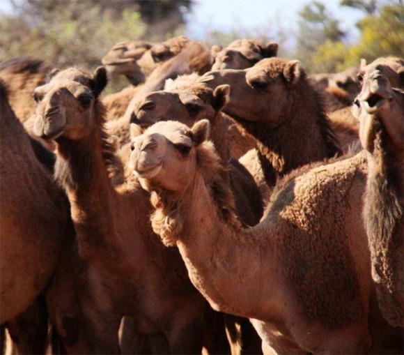 Tại sao phải cẩn thận với xác lạc đà trong sa mạc? Các nhà khoa học: nó tương đương với vũ khí sinh hóa-10