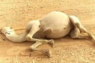 Tại sao phải cẩn thận với xác lạc đà trong sa mạc? Các nhà khoa học: nó tương đương với 'vũ khí sinh hóa'