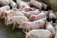 Bỏ lương ngàn USD đi nuôi lợn, ngay năm đầu thắng lớn 1,7 tỷ đồng