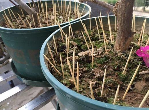 Cắm nhiều cây tăm vào một chậu cây, hóa ra có nhiều lợi ích và kiến thức đến vậy-3