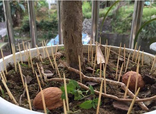 Cắm nhiều cây tăm vào một chậu cây, hóa ra có nhiều lợi ích và kiến thức đến vậy-4