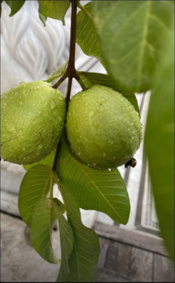 Biệt thự triệu đô của Tăng Thanh Hà và ông xã Louis Nguyễn vào hè cây trái sai trĩu quả, ai nhìn cũng thích mê-9